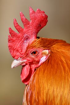 Red Rooster Bird In Closeup Royalty Free Stock Images