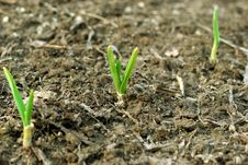 Free Photo Of The Young Green Sprout Stock Image - 13834561