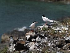 Terns Stock Images