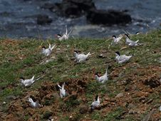 Free Roseate Terns Nested Densely Stock Photo - 13834590
