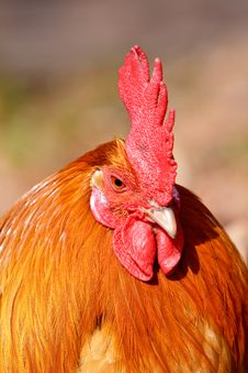 Free Red Rooster Bird In Closeup Stock Photos - 13834703