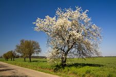 Free In Bloom Tree Royalty Free Stock Images - 13834989