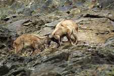 Free Fighting Barbary Sheep - Ammotragus Lervia Royalty Free Stock Images - 13835689