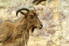 Free Barbary Sheep - Ammotragus Lervia Royalty Free Stock Image - 13835716