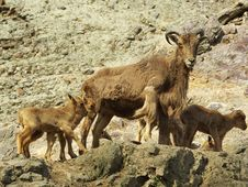 Free Barbary Sheep - Ammotragus Lervia Royalty Free Stock Images - 13835729