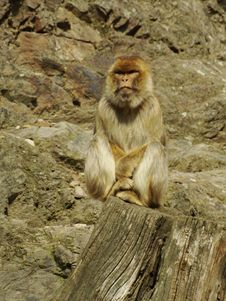 Free Barbary Macaque Stock Photo - 13835740