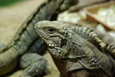 Head Of Cuban Rock Iguana (Cyclura Nubila) Royalty Free Stock Photo