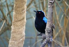 Free Asian Fairy-bluebird Stock Images - 13835954