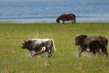 Bulls Running Through Flooded Land Royalty Free Stock Photo