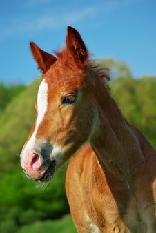 Portrait Of Foal. Royalty Free Stock Image