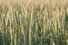 Free Wheat Ears Stock Image - 13836581