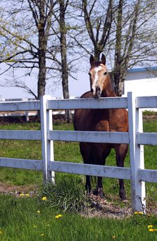 Horse Behind A Fence. Stock Image