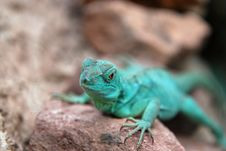 Free Green Lizard Royalty Free Stock Image - 13836896