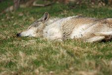 Free SLEEPING WOLF Stock Image - 13837361