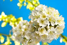 Free Cherry Blossom Royalty Free Stock Image - 13838516