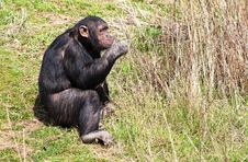 Free Chimpanzee Eating Fresh  Stems Royalty Free Stock Photography - 13838917