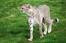 Free Beautiful Cheetah In A Green Grass Field Royalty Free Stock Photography - 13838977