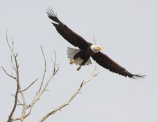 Bald Eagle Full Wing Span Royalty Free Stock Images