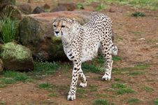 Free Beautiful Cheetah In A Rocky Field Stock Image - 13838991