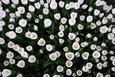 Free White Tulips Stock Images - 13839054