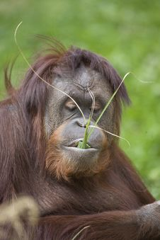 Free Orangutan Stock Photography - 13839162