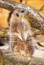 Free A Vigilant Meerkat Looking Out For Predators Royalty Free Stock Image - 13845776