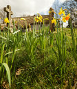 Free Daffodils In An English Churchyard Stock Image - 13846831