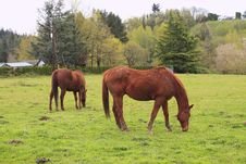 Grazing Horses In A Field. Stock Photo