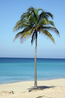 Free Single Coconut Palm Tree In The Beach, In Cuba Stock Photo - 13840200