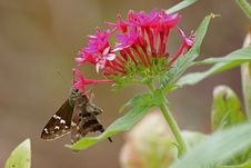 Free Butterfly On Flowers Royalty Free Stock Photography - 13840397