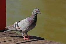 Free Pigeon Bird In The Parks Stock Photos - 13842143