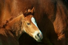 Foal Portrait Royalty Free Stock Photography