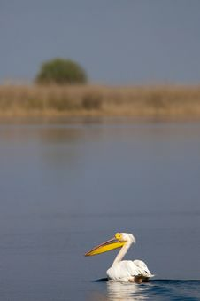 Free Great White Pelican On Water Royalty Free Stock Photography - 13844307