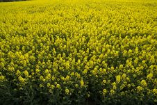 Free Rape Field Stock Images - 13844484