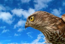 Free Birds Of Europe - Sparrow-hawk Royalty Free Stock Images - 13844889