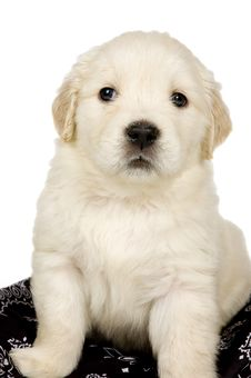 Free Golden Retriever Puppy Royalty Free Stock Photos - 13845068