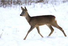 Free Fawn In Winter Royalty Free Stock Images - 13845419