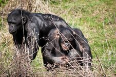 Chimpanzees In The Grass Royalty Free Stock Images