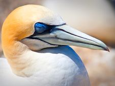 Free Head Of Gannet Royalty Free Stock Images - 13846199