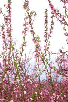 Free Peach Flower Stock Photos - 13846343