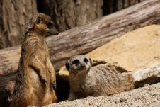 Free Meerkats Royalty Free Stock Photography - 13846807
