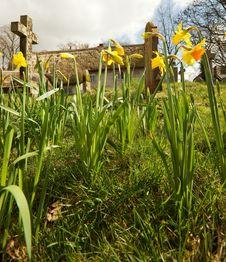 Free Daffodils In An English Churchyard Stock Image - 13846831