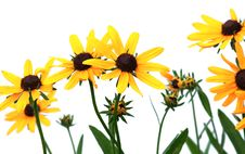 Free Yellow Rudbeckia Royalty Free Stock Images - 13846909