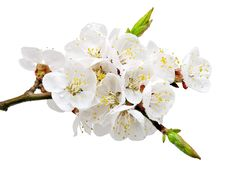 Free Apricot Flowers. Stock Photos - 13847113