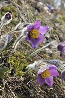 Free The Pasque Flowers Early In  Morning. Royalty Free Stock Photo - 13847215