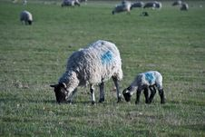 Free A Ewe And Her Lamb Royalty Free Stock Photos - 13847248