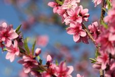 Free Rosa Flowers Stock Photos - 13847933