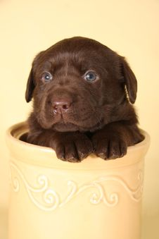 Free Labrador Puppy Stock Photography - 13848272