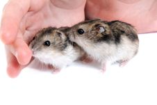 Free Two Hamster On Palm Stock Photography - 13848472