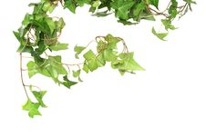 Free Green Ivy Stock Image - 13848651